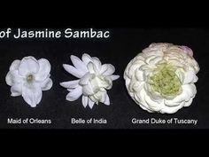 Growing Jasmine (Jasminum samba) - YouTube
