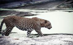 O leopardo do Sri Lanka (também chamado de leopardo de Ceilão), é uma das 14 subespécies de leopardo conhecidas no mundo. Pode ser encontrado apenas no Sri Lanka pelo que pouco se sabre sobre esta espécie, mas estudos indicam que se encontra espalhado pelas áreas ainda selvagens da ilha. Em termos de estado de conservação …