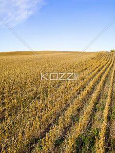 rows of corn - Rows of corn in a corn field