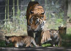 Just can't get enough of these tiger cubs!  They are exploring their Fresno Chaffee Zoo outdoor habitat for first time. Craig Kohlruss, FresnoBee.com