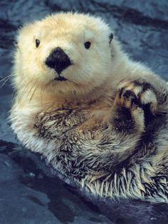 sea otter                                                       …