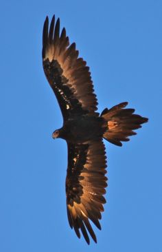 The Wedge-tailed Eagle (Aquila audax), sometimes known as the Eaglehawk (a slight misnomer, as it is among the largest raptors) in its native range, is the largest bird of prey in Australia, and is also found in southern New Guinea.