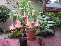 . Conservatory Garden, Angel Trumpet, Lawn And Garden, Plant, Winter Garden