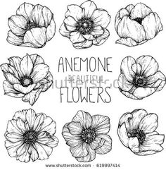 Anemone flowers drawing illustration vector and clip-art.