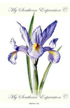 SPANISH IRIS 1887 Antique Iris Botanical by MySouthernExpression