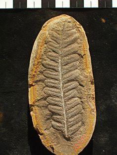Filicopsida (Cyathocarpus hemileliodes) Fossil Fern Leaf