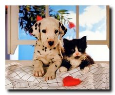 This Art Print Poster looks very beautiful captures Dog and Cat sitting together like friends. This poster would help to add a class and beauty to your walls. Grab this attractive Friends Forever Dalmatian Dog and Cat Animal Art Print Poster just what you need for your home decor.