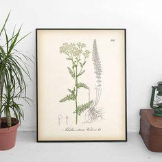 Yarrow Botanical art Antique botanical print Yarrow