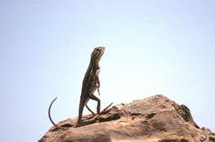 Tympanocryptis tetraporophora; Grassland Earless Dragon Dragon, Creatures, Dragons
