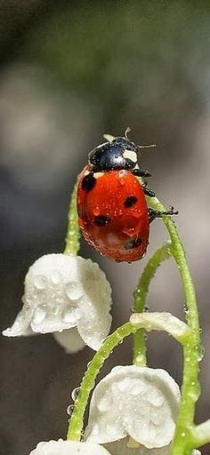 for the faeries ❧ ladybug on white bell flowers