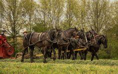 Percheron draft horses plowing a field