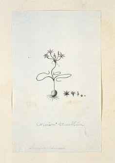 Crinum tenellum, met knol en met vijf detailstudies van de bloem, Robert Jacob Gordon, 1777 - 1786