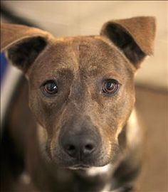 Hi, my name is Trevor! I'm a chocolate Pit Bull/Lab mix who is about 1 year old (as of 9/1/15). I came to LHS as a stray and hope to leave with my forever family! I'm a very handsome boy who would love to have a home with a big yard! Can you visit...