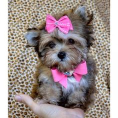 Teacup Morkie Puppy...sooo cute!!!