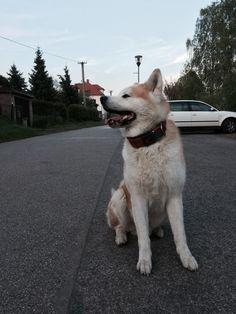 #akita#akitainu#dog#cute