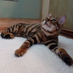 Pippa the Toyger Animals And Pets, Baby Animals, Cute Animals, Tortoise As Pets, Toyger Cat, Bengal Kitten, Cat Photography, Domestic Cat, Beautiful Cats