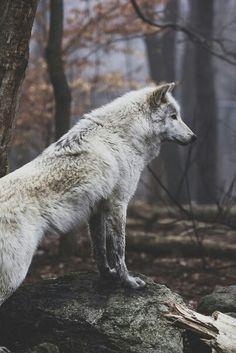 wolf, forest, animals, white