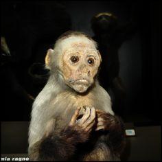 Monkey, Bergamo Natural History Museum, Italy 2008 © Incognita Nom de Plume
