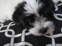 Everything we enjoy about the Havanese Pup Havanese Puppies, Cute Puppies, Cute Dogs, Dogs And Puppies, Doggies, Animals And Pets, Baby Animals, Cute Animals, I Love Dogs