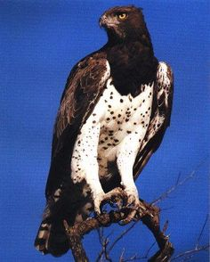 Martial eagle, largest African eagle with a wingspan of 2.6 meters
