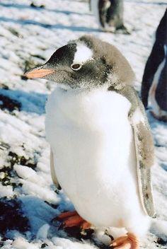 Moulting Gentoo penguin...