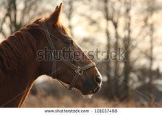 Chestnut horse portrait in the sunset