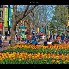 Tulips everywhere on Pearl Street, Boulder, CO!