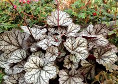 Heuchera 'Glitter': Z4; part-shade-sun, 10(F16)x14; silver foliage and amazing contrasting black veins in the leaves violet purple underside, towering bright fuchsia pink spires covered in dangling bell-shaped flowers June-Sept; drought tolerant, fast grower, attracts butterflies & hummingbirds