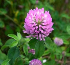 Make Your Own Organic Natural Yellow Fabric Dyes: Red Clover