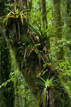 Plants grow everywhere in the rainforest—even on other plants. This tree trunk in Panama's rain forest is home to several bromeliads.