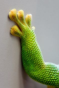 Gecko toes.  The super power I always hope for. Photography by Volker Wurst