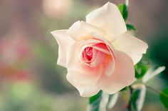 Single Pinkish Rose :*