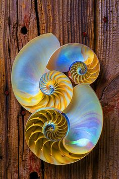 Three Nautilus I don't know if the color of the shells or the grain of the wood attracts me more-