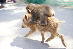 Hi ho piggy away!
