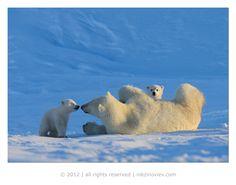 White on blue - Polar Bear