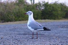 Grey-headed/Grey-hooded Gull -Gryskopmeeu-