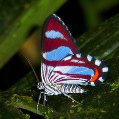 Geometer moth, Erateina sp., Geometridae