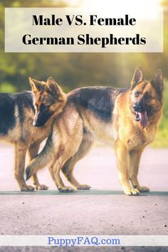 Male German Shepherds tend to be more enthusiastic in nature. While the whole German Shepherd breed is quite gentle and subtle, the male GSD is little more dominant than their female counterpart. Check the article for a lot more information. German Sheperd Dogs, German Shepherd Facts, Female German Shepherd, German Shepherd Training, German Shepherd Breeds, Funny German Shepherds, German Shepherd Information, German Dogs, Shepherd Dogs