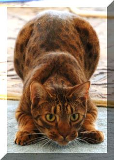 Ocicat- I need one to match my Bengal :)