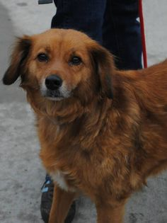 TO BE DESTROYED 5/25/13 Brooklyn Center  LASSIE A0965395 Female brown/tan golden retr mix 4 YRS  Lassie is versatile & doesn't discriminate per her owners—she likes other dogs cats, kids  Lassie may not get that chance if we do not advocate for her tonight. She is on the ACC's To Be Destroyed list and needs our help desperately now! PLEASE SHARE FOR adopter/foster www.facebook.com/...