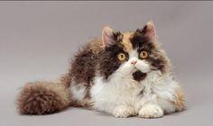 8 Unique Curly Haired Cat Breeds That Suitable For Family's Pet Laperm, Cornish Rex, Devon Rex, Curly Haired Cat, Curly Cat, American Wirehair, Serval, Scottish Fold, Beautiful Cat Breeds