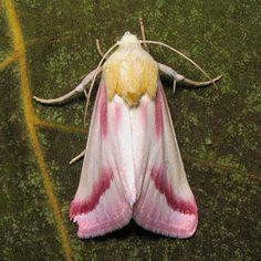 Clouded crimson moth (Schinia gaurae)