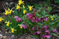 hellebore (lenten rose) with daffodils Plants For Shady Areas, Deer Resistant Perennials, Lenten Rose, Shade Garden Plants, Christmas Rose, Woodland Garden, Perfect Plants, Colorful Garden, Modern Landscaping