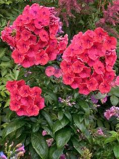 Phlox paniculata Flame™️ Coral (Garden Phlox)  The color of a pretty pink sky at twilight, the fragrant clusters sizzle with bright coral pink flowers with violet eyes. These smaller-statured Garden Phlox from the Flame™️ Series offer good disease resistance, a bushy, compact habit and large fragrant flowers in midsummer. Lovely for the middle of the border and containers. Attracts hummingbirds, butterflies, and birds.  Learn more at: https://www.bluestoneperennials.com/PHFC.html