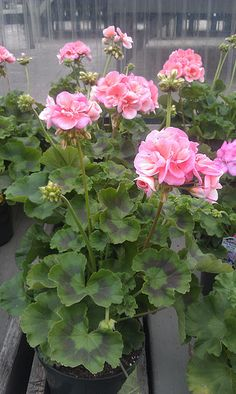 do great in backyard flower bed, hint hint Deborah, lol Geranium Plant, Pink Geranium, Geranium Flower, Blossom Garden, Pink Garden, Blossom Flower, Summer Flowers, Love Flowers, Beautiful Flowers