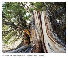 Bristlecone pines are the oldest unitary organisms in the world, known to surpass 5,000 years in age. In the 1960's a then-grad student cut down what would have been the oldest known tree in the world while retrieving a lost coring bit. A cross section of that tree was placed in a Nevada casino.
