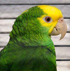 Yellow-headed Amazon (Amazona oratrix).