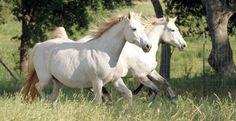 Connemara Pony Mares Glenormiston Amelia and R Titania. Connemara Pony, Dressage, Horses, Amelia, Ranch, Animals, Sport, Guest Ranch, Animales