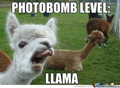 10 Hilarious Llama Memes Thatll Make Your Day! - Funny Baby - 10 Hilarious Llama Memes Thatll Make Your Day! Lovely Animals World The post 10 Hilarious Llama Memes Thatll Make Your Day! appeared first on Gag Dad. Funny Animal Memes, Funny Animal Pictures, Cute Funny Animals, Funny Cute, Hilarious, Funny Photos, Funny Gags, Alpacas, Funny Baby Gifts