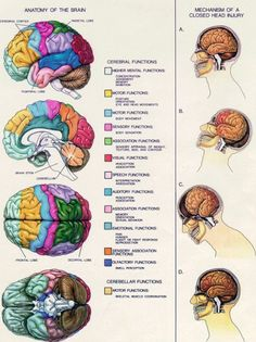 Anatomy of the Brain. Mechanism of a Closed Head Injury. Brain Anatomy, Anatomy And Physiology, Post Concussion Syndrome, Brain Science, Science Education, Health Education, Life Science, Computer Science, Physical Education
